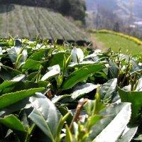 標高600m~自然がつくる秘境のお茶とは~