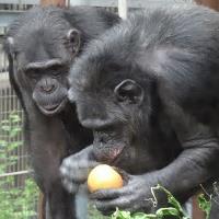 チンパンジーのパンヤ先生に教わる、健康的な食生活。(ローフード)